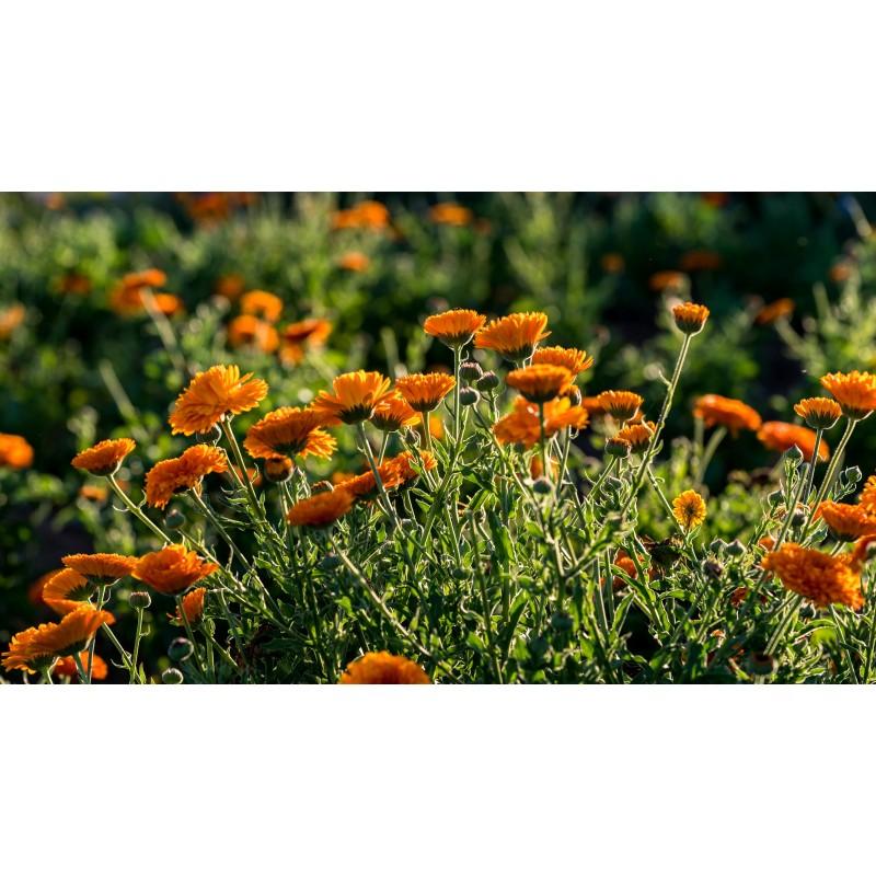 Champ de calendula bio en fleur