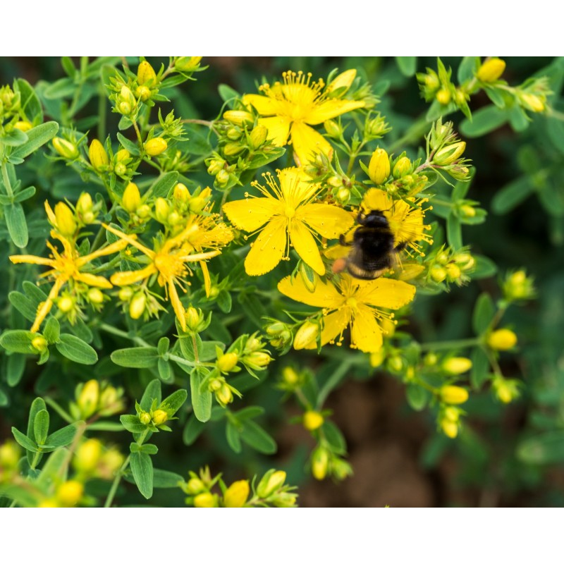 Fleur de millepertuis bio